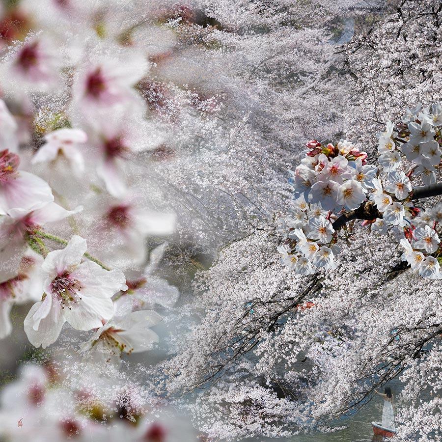 Cerisiers-02-copie